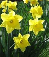 daffodils planted by community group
