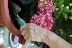 hands planting pink flowers