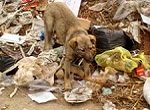 dog rooting through dump